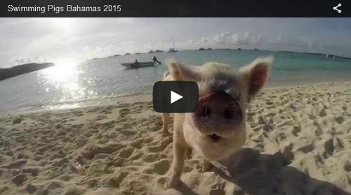 pig island story telling
